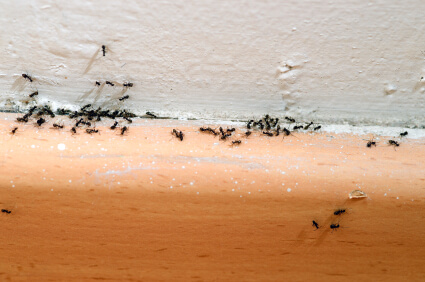 Ants-in-the-House